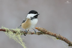 Msange  tte noire - Black-capped chickadee - Poecile atricapillus (Maxime Legare-Vezina) Tags: bird oiseau nature wild wildlife animal fauna biodiversity winter hiver canon quebec canada