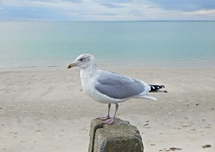 Crusty McStuffins (guarnc) Tags: seagull beach cod cape november