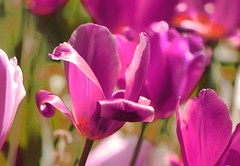 IMG_1988 Magenta tulips (Rodolfo Frino) Tags: wow bright sunlight flower flor magenta tulip flora nature naturaleza magentatulip colorful colourful colorido colorida natur