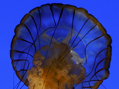 alien (DROSAN DEM) Tags: medusa san francisco jellyfish alien