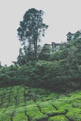 DSCF1113 (tzeyangtan) Tags: cameron highlands getaway green sgpalas tea plantation photography