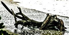 tree trunk ---- IMG_4488_EE (harry de haan) Tags: harrydehaan driftwood beach treetrunk