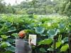 Sketching the Lotus, Shinobazu Pond, Ueno Park (prelude2000) Tags: ueno park tokyo 上野 不忍池 蓮 ハス shinobazu pond lotus sketch 莲花 素描 スケッチ 写生 japan