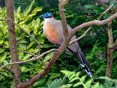 Riesen-Seidenkuckuck (Eerika Schulz) Tags: bird birds giant aves ave vgel vogel riesen gigas coua seidenkuckuck