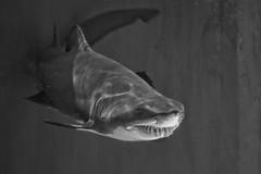 My, what big teeth you have ... and so MANY! (Kitster2) Tags: aquariumofthepacific sandtigershark carchariastaurus greynurseshark spottedraggedtoothshark bluenursesandtigershark