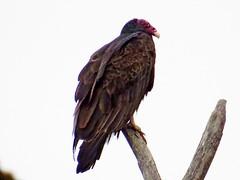 Turkey Vulture, North Bend, WA 8/14/15 (LJHankandKaren) Tags: vulture turkeyvulture snoqualmievalley
