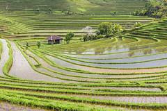 Musim Tanam (skip0974) Tags: bali landscape ricefield paddyfield irrigationsystem pupuan tabanan watermanagement subak