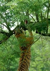 Amur Tiger (Annette Rumbelow) Tags: park tiger wilson endangered siberian wiltshire captive longleat siberiantiger annette bigcats carnivore amur rumbelow safarai httpwwwlongleatcouk
