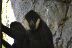 White Cheeked Gibbons (kaysha54) Tags: chicago primate lincolnparkzoo whitecheekedgibbon