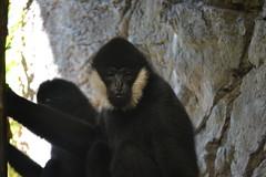 White Cheeked Gibbons (kaysha54) Tags: chicago primate lincolnparkzoo whitecheekedgibbon