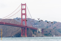 San Francisco (Edi Bhler) Tags: bridge lagune nature bay natur structure waters pelikan brcke bauwerk suspensionbridge vogel hngebrcke gewsser nikond810 24120mmf4 sanfranciscolm goldengatebridgesanfranciscolm 2015hawaii