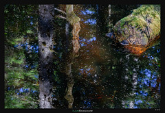 Logs in the black pool (Ilan Shacham) Tags: trees light usa black reflection tree nature water pool leaves alaska america forest landscape us moss log view fineart scenic logs trunk backlit glacierbay boreal fineartphotography glacierbaynationalpark borealforest innerpassage