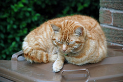 Camouflaged cat (British Rail 1980s and 1990s) Tags: tom cat ginger catnap sleepy livery liveried