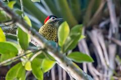 pica-pau-verde-barrado (Colaptes melanochlorus) - fêmea (Ana Carla AZ) Tags: birds rj aves lugares lidice piciformes picidae picapauverdebarrado colaptesmelanochlorus picapaus