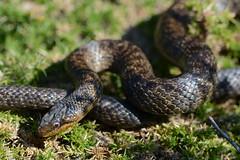 hypermelanistic smooth snake, Coronella austriaca (one of three images) (willjatkins) Tags: reptile snake snakes britishwildlife ukwildlife coronella smoothsnake britishsnakes britishreptiles coronellaaustriaca britishsnake dorsetwildlife ukreptile uksnake britishreptilesandamphibians ukamphibiansandreptiles ukreptilesandamphibians britishamphibiansandreptiles dorsetreptiles dorsetsnakes snakesofeurope dorsetherpetofauna
