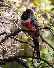 SE Arizona 2014 (tjludwick) Tags: arizona bird us unitedstates greenvalley maderacanyon trogon eleganttrogon carrienationtrail