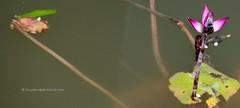 IMG_2379 (singaporeplantslover) Tags: nymphaea   lotus