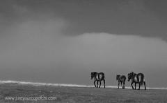Exmoor Ponies (justyourcofchi) Tags: england horses blackandwhite bw landscape somerset devon ponies exmoor exmoorponies chiarnold justyourcupofchi