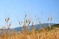 Farro (giorgiorodano46) Tags: summer italia estate july umbria appennino farro spighe montisibillini preci valnerina cereale saccovescio nikonclubit luglio2015 giorgiorodano