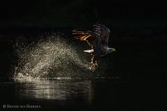 White Tail (hvhe1) Tags: wild fish bird nature animal norway fishing eagle wildlife raptor catch birdofprey zeearend noorwegen roofvogel whitetailedeagle seeadler haliaeetusalbicilla specanimal olemartindahle hvhe1 hennievanheerden pygarguequeueblanche lauvsnes