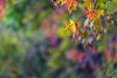 Color Burst (Elizabeth_211) Tags: autumn trees fall nature leaves bokeh tennessee foilage 135mm jacksontn westtn sherielizabeth