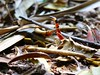 Red Coffee Snake - Dipsadidae; Ninia sebae (Dis da fi we) Tags: red coffee forest rainforest snake belize wildlife culture toledo jungle puntagorda ninia sebae hickatee toledodistrict dipsadidae niniasebae coffeesnake hickateecottages redcoffeesnake hickateebelize hickateepuntagorda