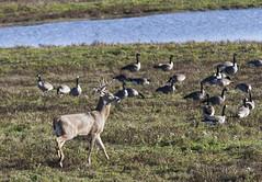 Aylmer Buck (a56jewell) Tags: nov ontario fall water geese deer buck a56jewell