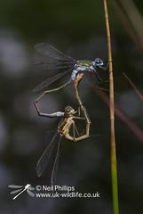 mating emerald damselflies-8 (Neil Phillips) Tags: insect common damselfly emerald spreadwing hexapod insecta lestes emeralddamselfly lestidae sponsa