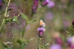 Small heath (Charlotte Varela) Tags: summer nature butterfly wildlife insects smallheath smallheathbutterfly clowbridgereservoir bigbutterflycount