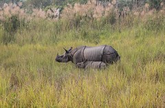 Asiatic Rhino and Calf (Mabacam) Tags: nepal rhino calf chitwan rhinocerus 2015 terai chitwannationalpark onehornedrhino rhinocalf asianrhinocalf asiaticrhinoceruscalf onehornedrhinocerus asianrhinocerus