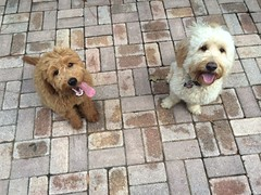 winnie-and-her-older-cousin-bower--winnie-the-darker-puppy-on-the-left-is-one-of-polly-and-chewys-puppies-and-bower-is-one-of-our-retired-moms-puppies_14412916041_o