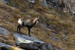 Val d'Aosta - Valsavarenche, prima che si accorgesse di me... (mariagraziaschiapparelli) Tags: foliage autunno valdaosta granparadiso escursionismo camminata valsavarenche pontvalsavarenche meye pngp gruppodelgranparadiso allegrisinasceosidiventa