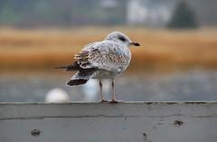 DSC_0866 (Six Sigma Man (Thank you for the 1.9M+ views)) Tags: bird nikon seagull longisland nikond3200 coldspringharbor