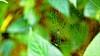 Araignée (Pimenthe) Tags: spider art araignée bug insect animal arachnae nope black yellow forest nature wild feral bokeh macro web leaf leaves green natural blur color colors colour colours colorful colourful 169 travel east eastern bali java close closeup