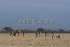 10076057 (wolfgangkaehler) Tags: 2016africa african eastafrica eastafrican kenya kenyan amboseli amboselikenya amboselinatlparkkenya amboselinationalpark wildlife mammal giraffe giraffes giraffacamelopardalistippelskirchi herd tower group burchellszebra burchellszebraequusquagga burchellszebras