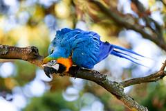 Macaw (peter.guyan) Tags: macaw bird avian blue yellow tree leaves canon eos5dmkii 70200 nofilters watford cassiobury cassioburypark