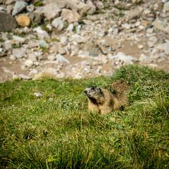 Murmeltier (visunaut) Tags: scanfs graubnden schweiz marmot murmeltier