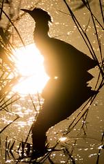 Bittern (Botaurus stellaris) silhouetted amongst reeds (Ian Redding) Tags: avalonmarshes bittern botaurusstellaris british european fauna nature shapwickheath somerset uk wildlife bird brown endangered evening grey heron hidden naturalengland naturereserve plumage rare reeds reflection silhouetted sun swimming water waterfowl winter