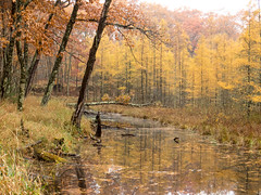 The Floating Bog on a Rainy Day (amythyst_lake) Tags: tree woods larch water floating moss fall autumn wisconsin mist rain