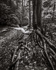 Tree roots (coneslayer) Tags: plants sigma1020mmf456exdc trees water waterfall forbesstateforest pennsylvania unitedstates