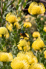 Orange-breasted Sunbird on a yellow protea in Kirstenbosch National Botanical Garden (amanda & allan) Tags: southafrica cape kirstenboschnationalbotanicalgarden capetown kirstenboschbotanicalgarden kirstenbosch yellow protea proteas orangebreastedsunbird sunbird