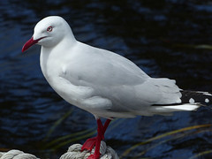 P1110276-silver gull-A (elisabethgleave) Tags: birds piemanheads silvergull