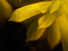 Hairy Plant (Mad_Murphy_Photography) Tags: kiel makros pflanzen