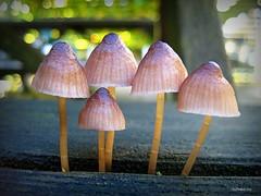 Picnic Shrooms (CanMan90) Tags: mushrooms workplace work picnic table luncharea university uvic victoria britishcolumbia vancouverisland november rain nature canon sd1200 pointshoot macro bokeh