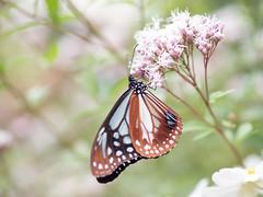 アサギマダラ (Polotaro) Tags: mzuikodigital45mmf18 butterfly insect bug nature olympus epm2 pen zuiko チョウ 蝶 虫 昆虫 自然 オリンパス ペン ズイコー アサギマダラ flower 花 フジバカマ 庭 garden 10月