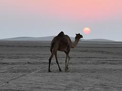 DSC_5444 Qatar Desert (Santiago Sanz Romero) Tags: qatar desert desierto camel camello de sunset puestadesol sol ocaso crepusculo
