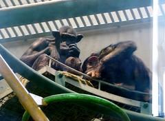 Pan troglodytes --  Chimpanzees 1212 (Tangled Bank) Tags: japan japanese asia asian asahiyama zoo zoological gardens hokkaido animal pan troglodytes chimpanzees 1212 ape primate