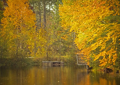 autumn at the pond (Hal Halli) Tags: autumn fall change gold seasons trees forest pond legacy