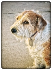 That Look from Buddy (cobalt123) Tags: dog buddy terrier emotion us