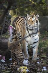 Amur Tiger Cub and her mother (Korkeasaaren elintarha) Tags: korkeasaarenelintarha elintarha korkeasaari hgholmensdjurgrd djurgrd helsinkizoo hgholmen zoo animals zooanimals amurtiger amurtigercub pantheratigrisaltaica amurintiikeri